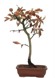 Resultado de imagem para foto de bonsai fagus gratis