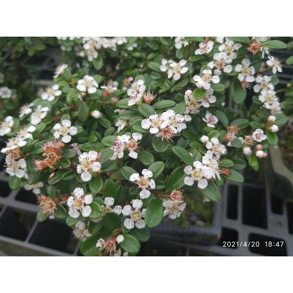 bonsai cotoneaster coral beauty 8 anos - 103